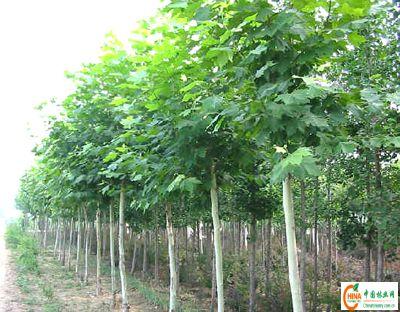 北方树种 北方园林绿化树种 北方树种大全图片 42189 400x312-北方绿图片